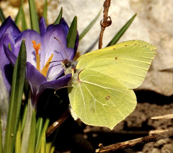 Schmetterling Winter, Frühlinserwachen