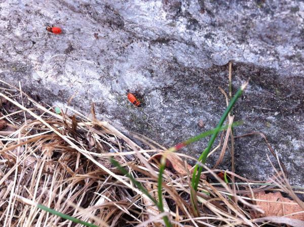 Zwei Feuerkäfer, zwischen Blättern und Gras, auf einem Stein